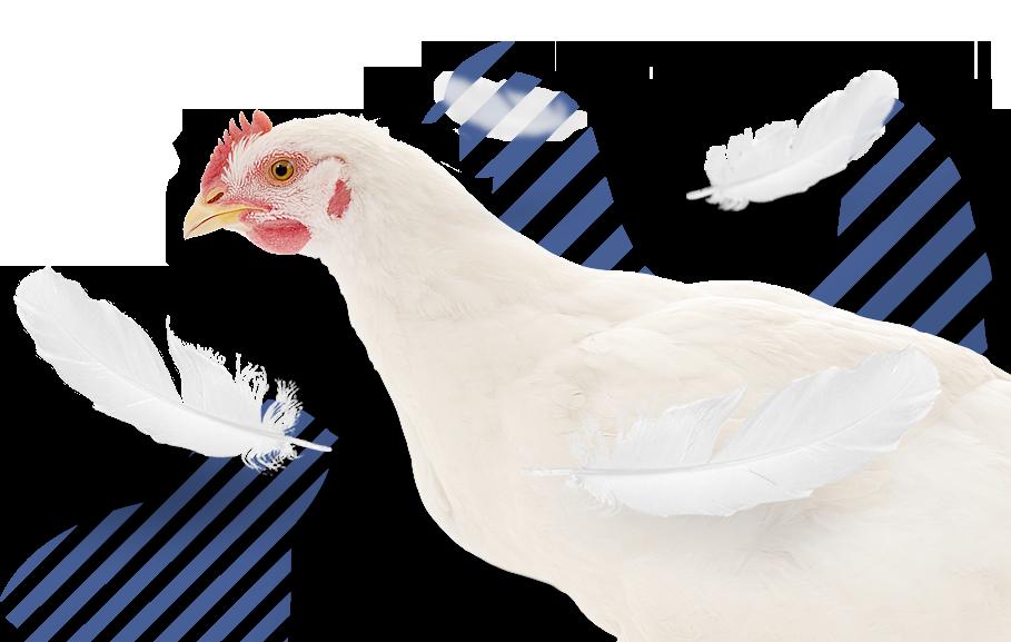 <p>Produção, abate, desmancha e comercialização de carne de aves</p>
