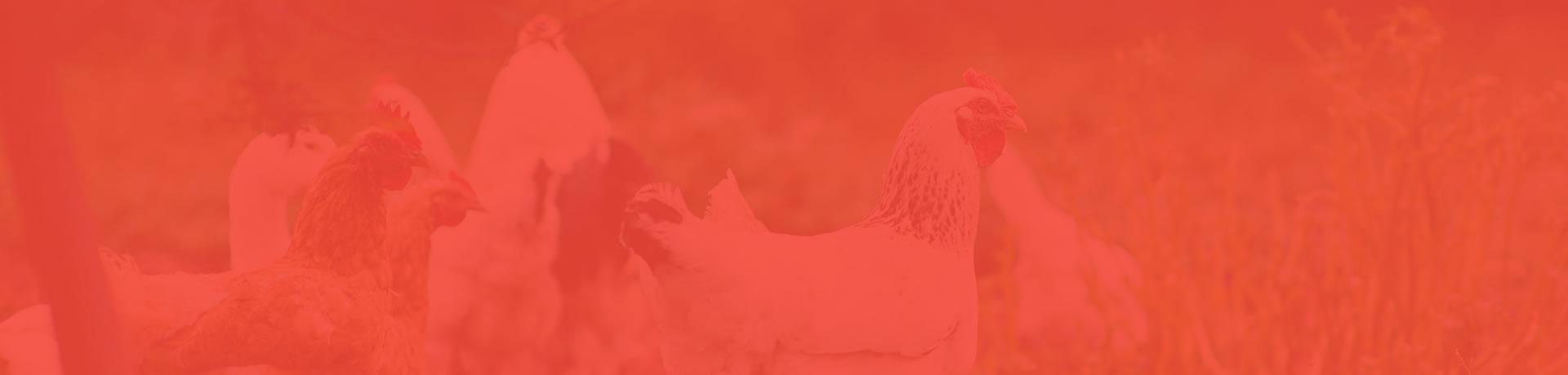 Produção, abate, desmancha  e comercialização de carne de aves